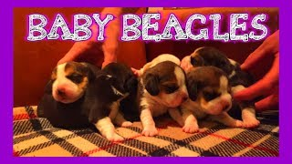 5 Day Old Beagle Puppies. Louie's Baby Sister Is Born!!