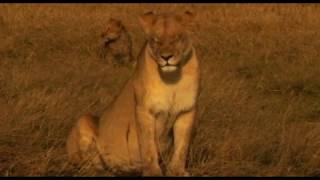 Очень трогательное видео!!!! Львица находит своего последнего детёныша и защищает его от группы гиен