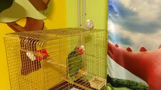 Кубинский амазон и наглый волнистый попугай