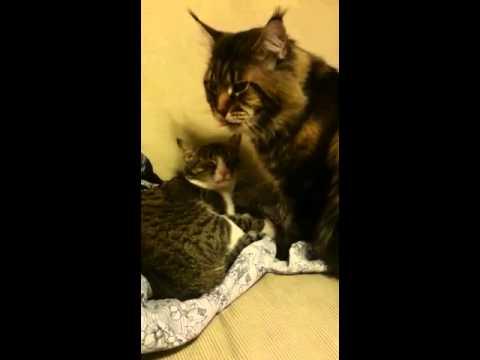 мейкун и обычная кошка фото