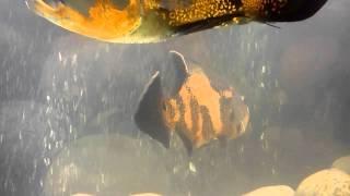 rabs oscar fish
