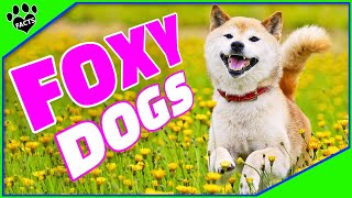 Top 7 Amazing Dog Breeds That Look Like Foxes