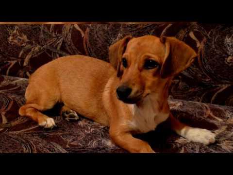 Порода собак. Вестфальская таксообразная гончая.Старинная немецкая порода
