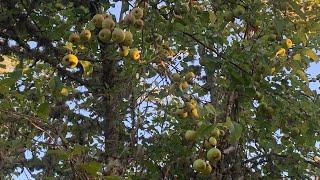 ||Apple look like pear|| backyard apple tree|| Apples