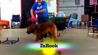 FaRook the Leonberger puppy in Puppy Groups at Sit Means Sit Mahoning and Steel Valley