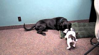 Maverick And Ralphy - Mastiff Rottweiler Mix Vs. French Bulldog Puppy