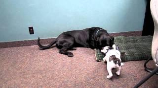 Maverick And Ralphy - Mastiff Rottweiler Mix Vs. French Bulldog Puppy