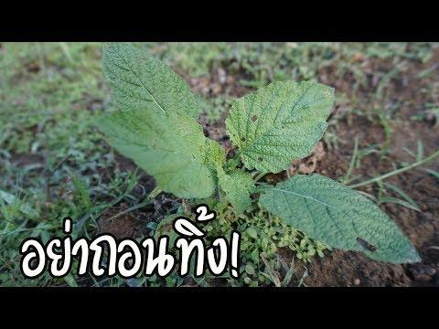 พาดูต้นหญ้างวงช้าง  มหัศจรรย์สมุนไพรไทยแก้โรคภูมิแพ้
