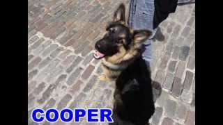 Cooper - German Shepherd - 21 Day Dog Boot Camp At Adolescent Dogs Uk