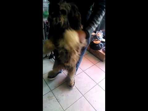 El perro que baila caporal