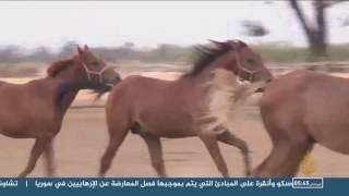 مركز سيدي ثابت لتجويد الخيول بتونس