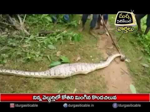 Python Snake ate monkey In Veldurthy Village |Jagtial | DSC | Jagtial |20.08.17