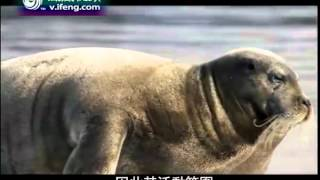 地球宣言2012-09-19 北极熊日渐恶化的生存状况