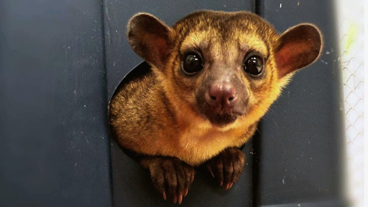 Couple Keep Mischievous Kinkajou As Pet | CUTE AS FLUFF