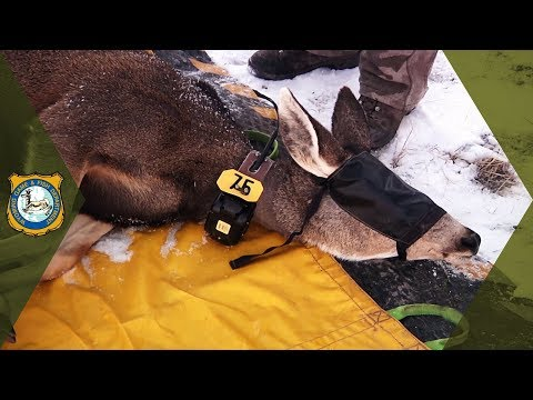 Wyoming Range Project - Mule Deer Research