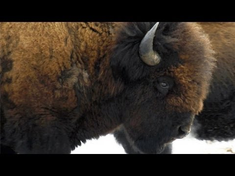 Wood Bison -- Elk Island National Park