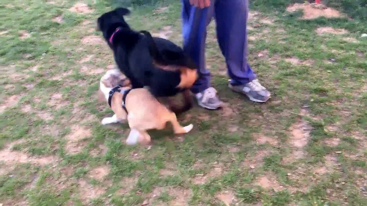 Rottweiler Puppy Vs Pitbull Bulldog Mix Puppy Youtube