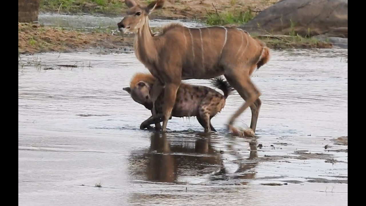 HYENAS hunt KUDU and then rival clan arrives
