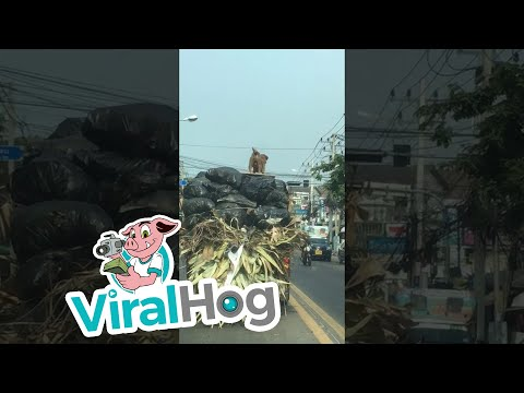 Truck Surfing Dog || ViralHog