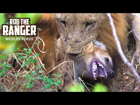 Lions Kill And Eat Hyena - Death At the Hyena Den (4K Video)