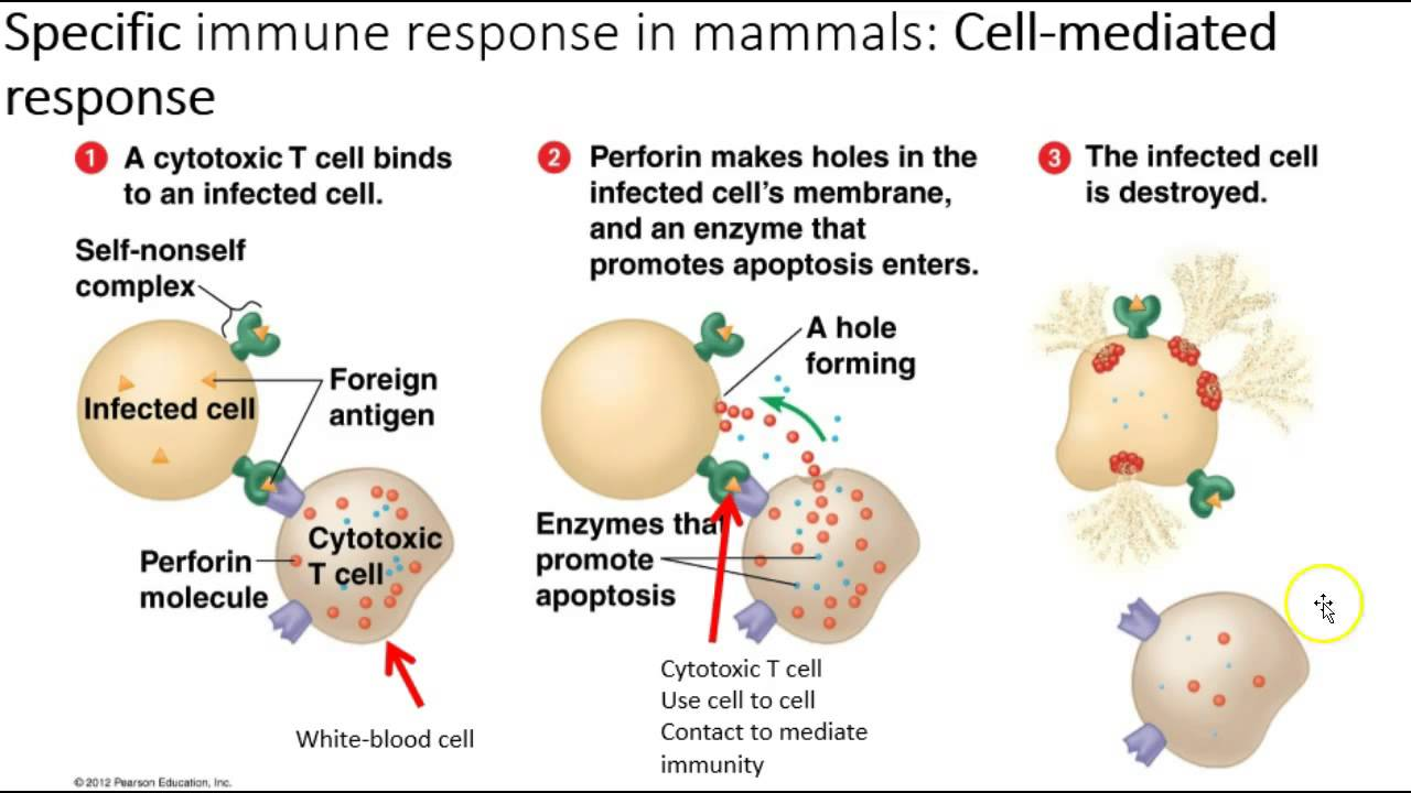 ap bio essay immune system Best answer: ok, here is a quick example of your last question about the endocrine gland cell and the target cell actually, if you're taking ap bio this year you should know that this was the topic of an essay question, so it will probably not be repeated again as an essay- it's more likely you'll see it as a multiple choice question.