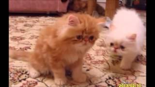 Котята экзоты персы