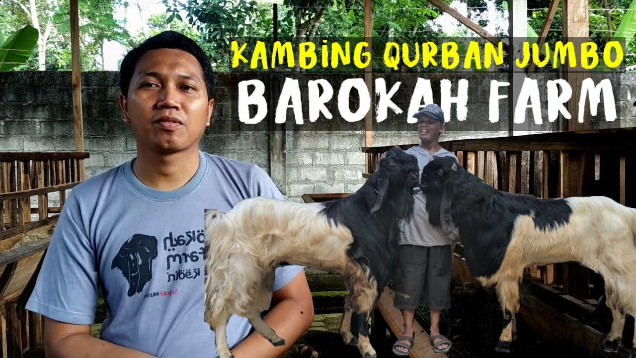 Kambing Qurban Jumbo di Kandang Barokah Farm Kediri   Sahabat Sapi Grebek Kandang