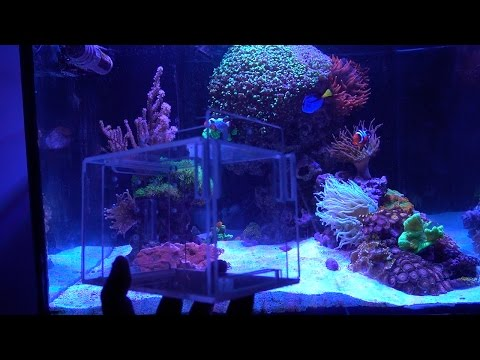 To Catch A Tang & Goby In A Reef Aquarium - Got My Fish Trap!