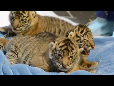 Raw video - Sumatran tiger cubs