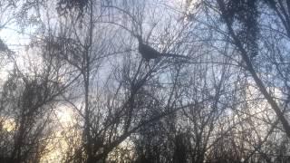 Лайки ЗСЛ и РЕЛ работа по фазану