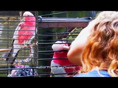 Pink Parrot, Roseate Cockatoo, Galah - Love, Kissing & Flirting