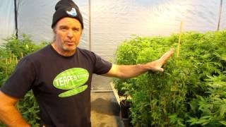 Gambar cover Marijuana Genetics, Strains And A Massive Cloning Operation At Wonderland Nursery
