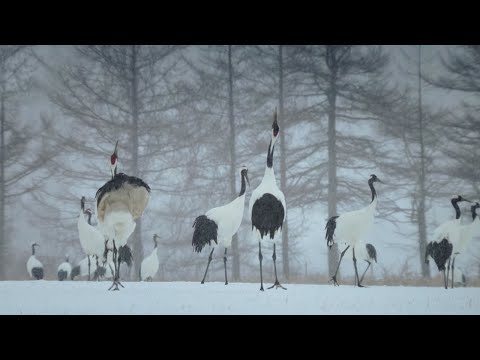 Trying To Save The Red Crowned Cranes Of Japan - Wild Japan - BBC