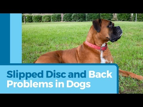 Slipped Disc In Dogs