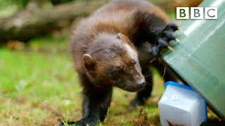 Are weasels the world's cheekiest predators? - BBC Earth