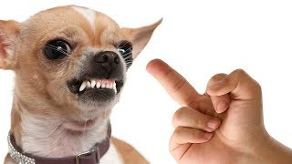 Dog Really Hates Middle Finger - Funny Dogs - Angry Dogs Compilation