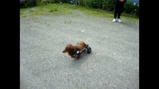 Harley, A Dachshund, Paralyzed From Ivdd In Her Eddie's Wheels Dog Wheelchair