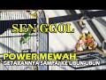 Cucak Ijo Senggol Bikin Ulah Power Ngentrok Jambul Ajibbbb Joker S Sf  Mp3 - Mp4 Download