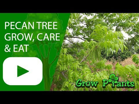 Pecan tree - Growing & care