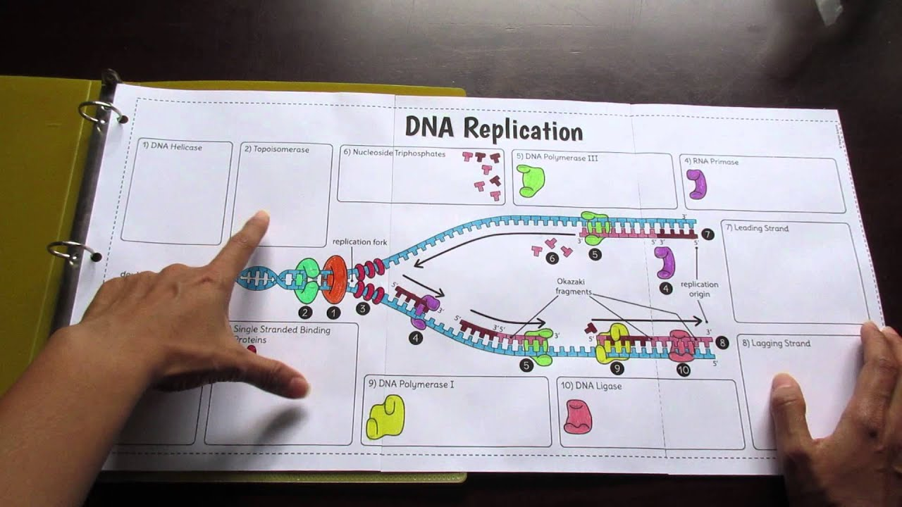 Big DNA Replication Foldable by Tangstar Science YouTube – Dna Replication Activity Worksheet