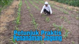 Petunjuk Praktis Penanaman Jagung ( Tutorial Pertanian )