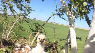 птенцы орла-могильника среднее поволжье