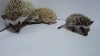 【ミルキーワン】 ハリネズミの赤ちゃんたち!