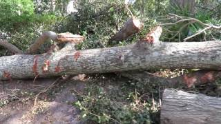 Freedom the Parrot NEXT TO 10 FOOT HIGH BRUSH PILE & IMMENSE TREES DESTROYED BY HURRICANE MATTHEW Tr thumbnail