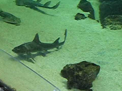 Mini shark tank cv008 youtube for Shark fish tank