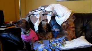 Trio Of Dachshunds Howling