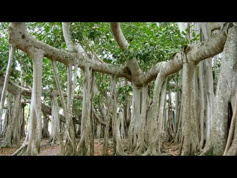 Вопрос: Где растут деревья эукрифии?