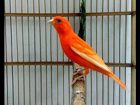 Download Lagu Suara Burung Kenari Merah Ngerol Nembak