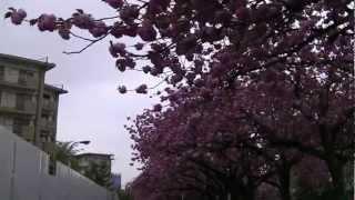 赤羽台団地 スターハウスと桜