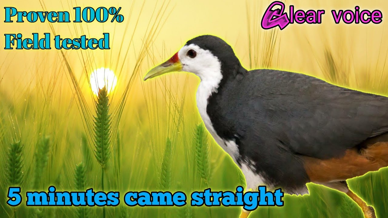 Download white breasted waterhen bird call sound mp3